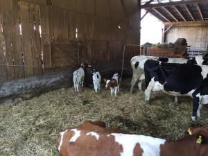 Kühe und ihre Kälbchen