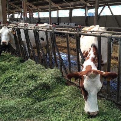Kühe aus Konradsdorf