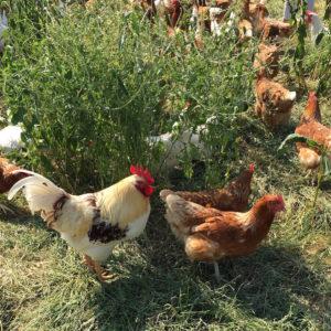 Bio Eier vom Hühnerhotel