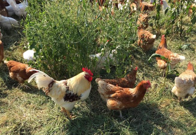 Eier vom Hühnerhotel