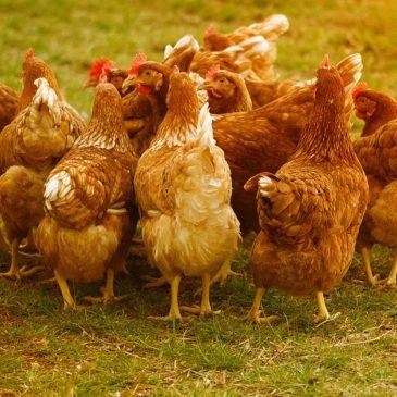 Bio-Suppenhühner und saftige Brathähnchen aus Konradsdorf