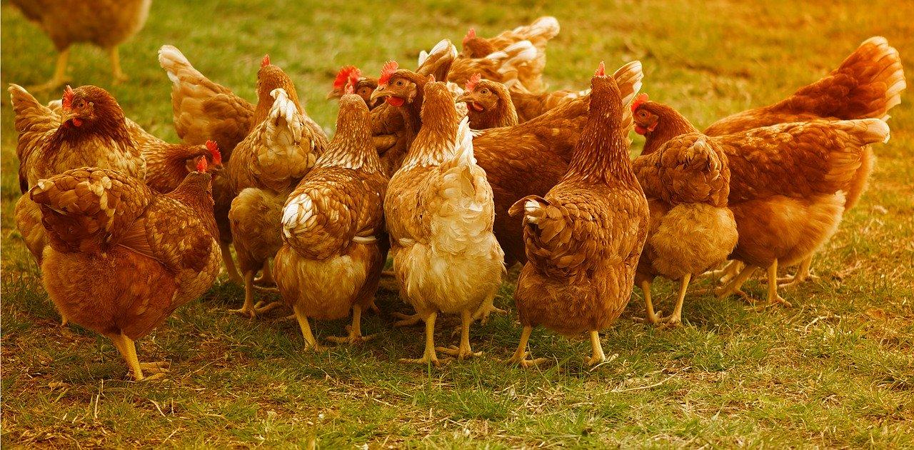 Bio-Suppenhühner